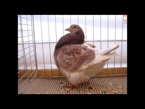 Texan Pigeons, several colours, Exposition Avicole Boncourt 2012